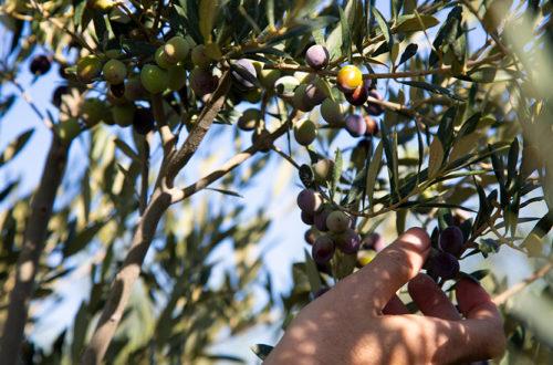Las DO en el sector olivarero español