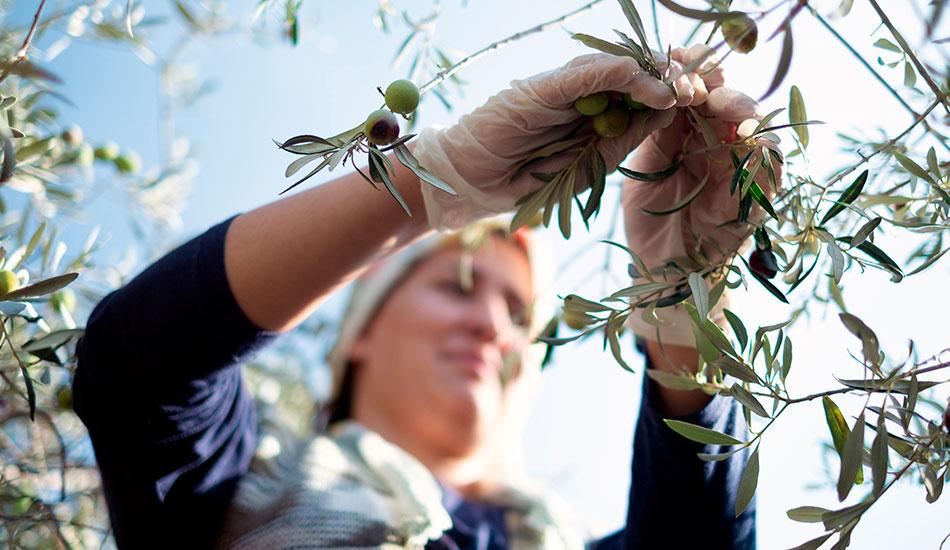 mujeres en la oliva