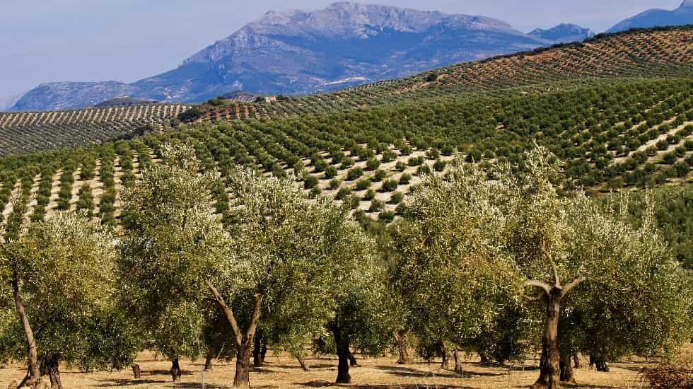 El Olivar como cultivo sostenible